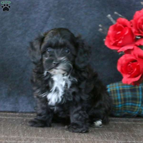 Buddy, Toy Poodle Mix Puppy