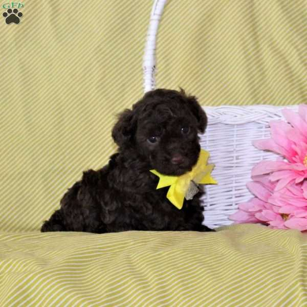 Buster, Toy Poodle Puppy