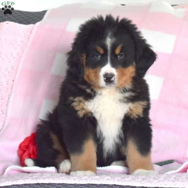 Charming Charles, Bernese Mountain Dog Puppy