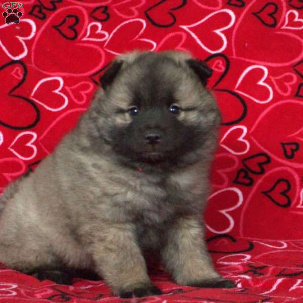 Chester, Keeshond Puppy