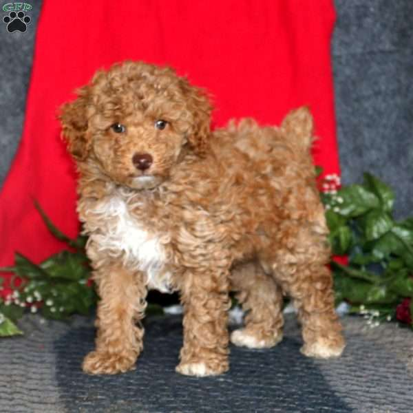 Cody, Miniature Poodle Puppy