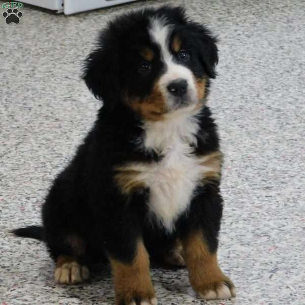 Conner, Bernese Mountain Dog Puppy