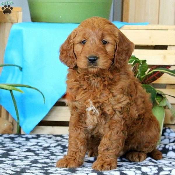 Darling, Mini Goldendoodle Puppy