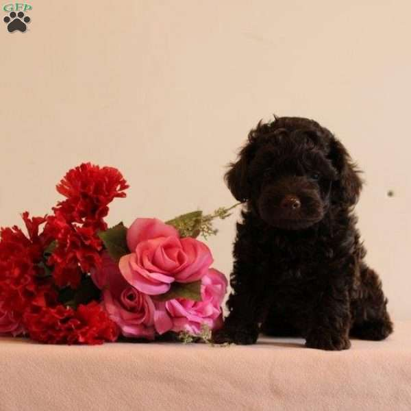 David, Toy Poodle Puppy