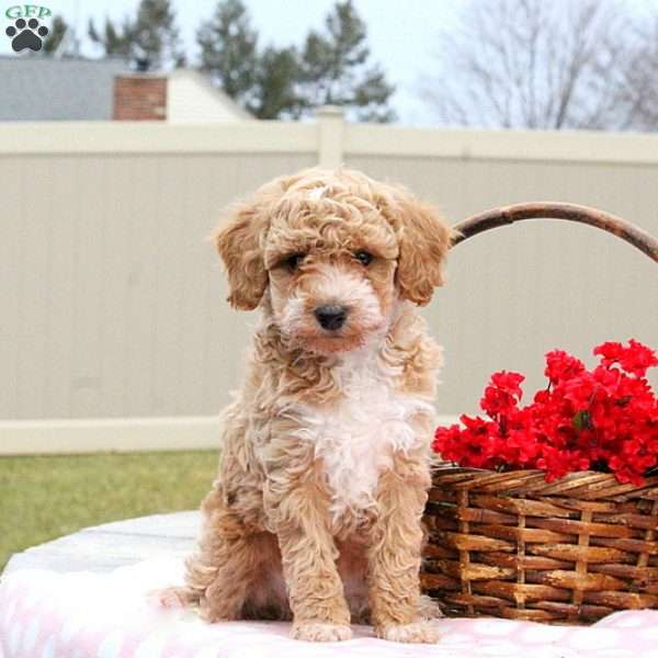 Emerson, Toy Poodle Puppy