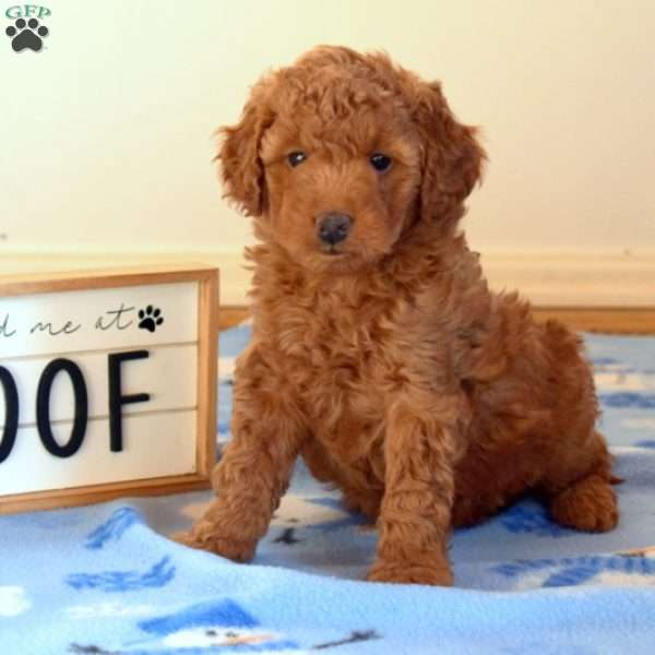 Fiona, Mini Goldendoodle Puppy