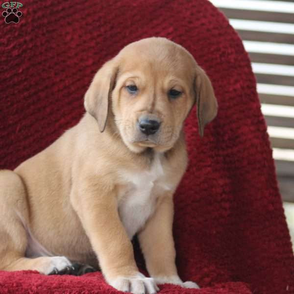Flash, Great Pyrenees Mix Puppy
