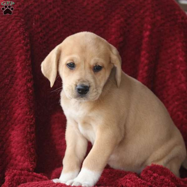 Florence, Great Pyrenees Mix Puppy