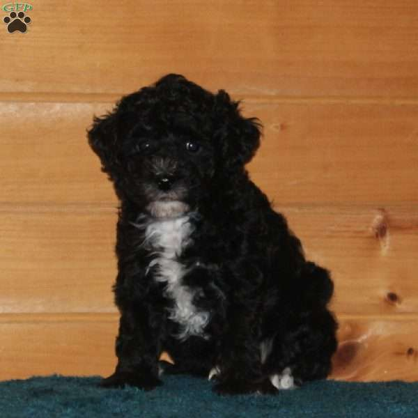Freddy, Miniature Poodle Puppy