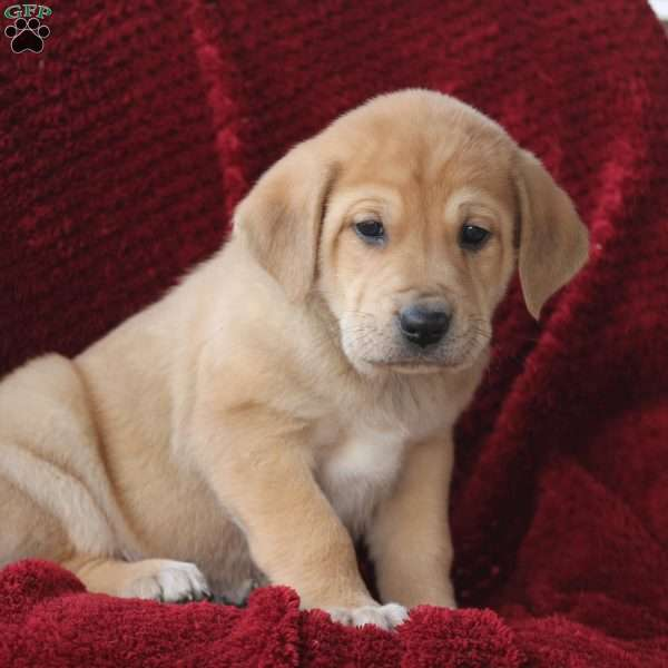 Frost, Great Pyrenees Mix Puppy