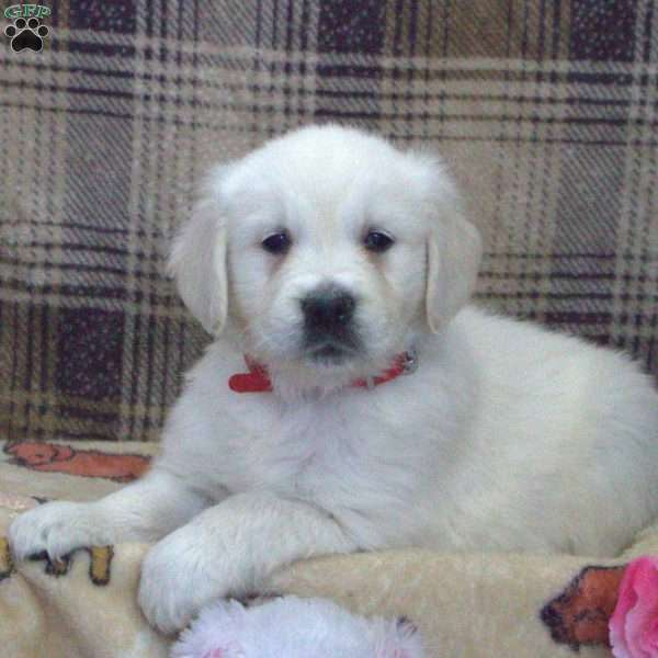 Gabriella, English Cream Golden Retriever Puppy