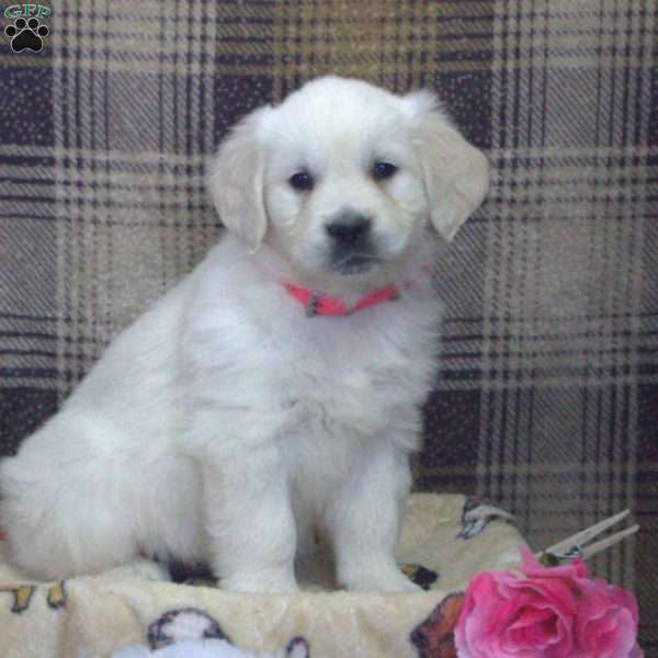 Gloria, English Cream Golden Retriever Puppy