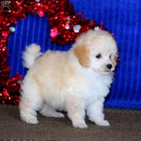 Goldie, Toy Poodle Puppy