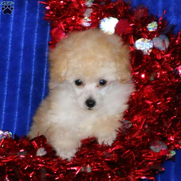 Gracie, Toy Poodle Puppy