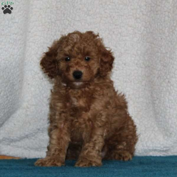 Harry, Miniature Poodle Puppy