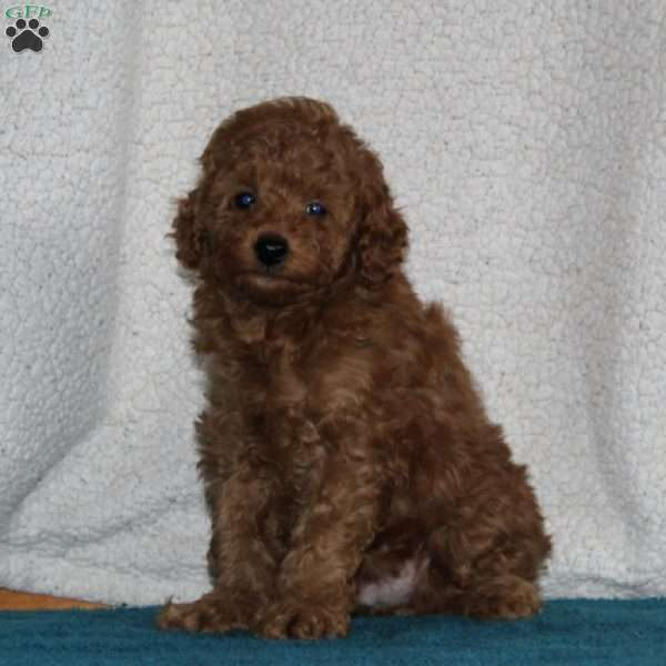 Henry, Miniature Poodle Puppy