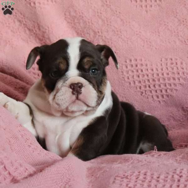 Hershey Kisses, English Bulldog Puppy