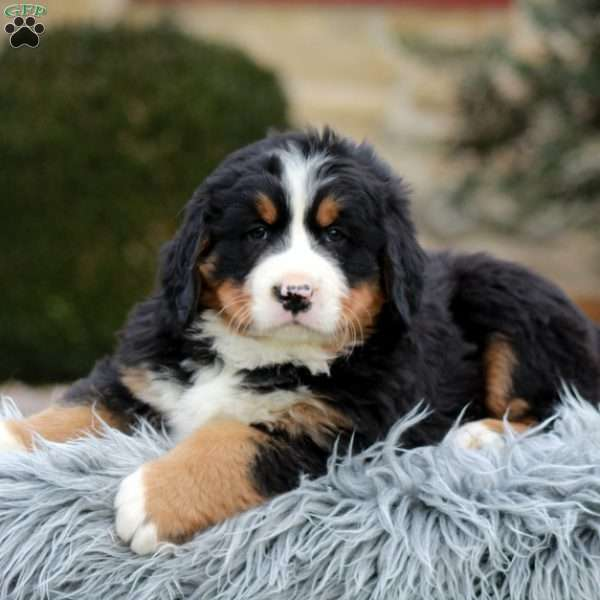 Hudson, Bernese Mountain Dog Puppy