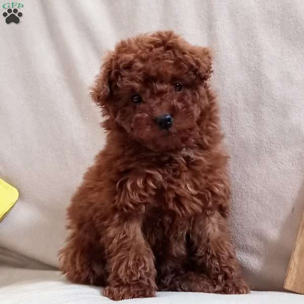 Layla, Toy Poodle Puppy