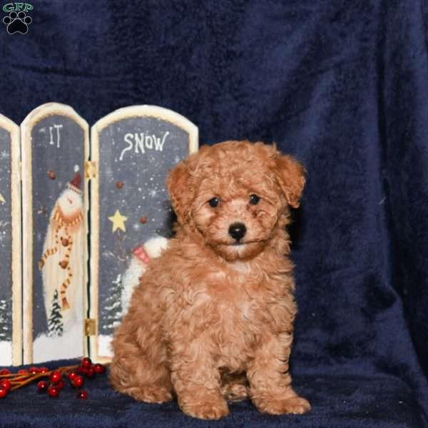 Joey, Miniature Poodle Puppy