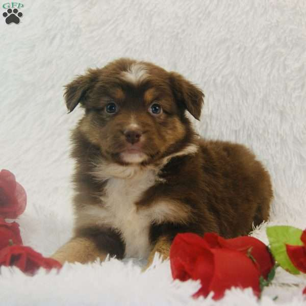 Juniper, Miniature Australian Shepherd Puppy