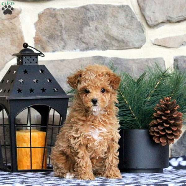 Justine, Toy Poodle Puppy