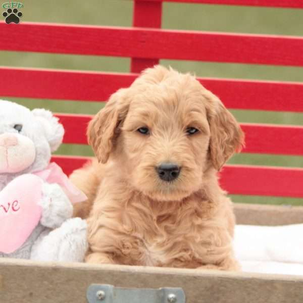 Leo, Goldendoodle Puppy