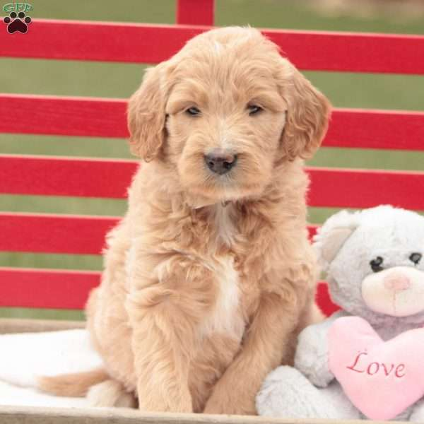 Lucy, Goldendoodle Puppy