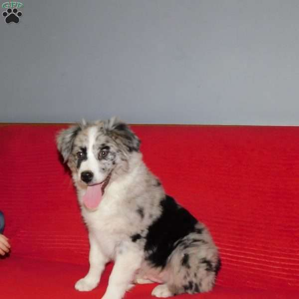 Mike, Australian Shepherd Puppy