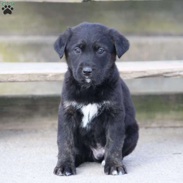 Marble, Labrador Mix Puppy