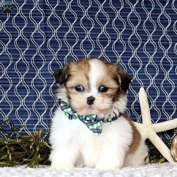 Michael, Shih Tzu Puppy