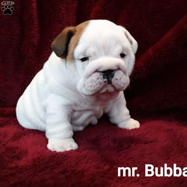Mr Bubba, English Bulldog Puppy