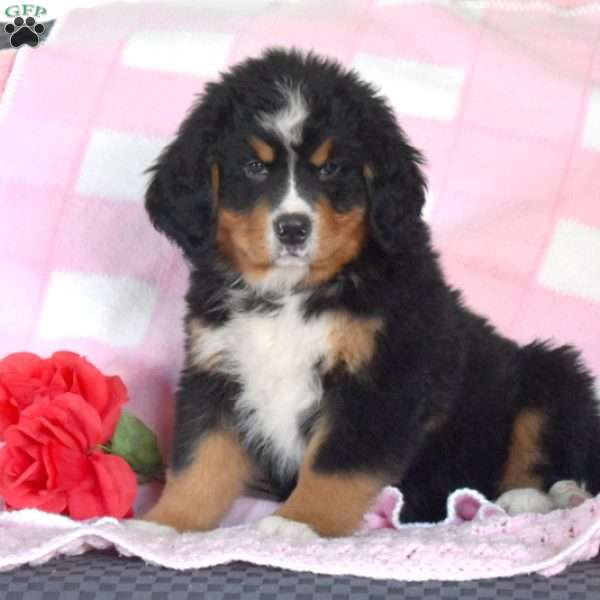 Mr. Mike, Bernese Mountain Dog Puppy