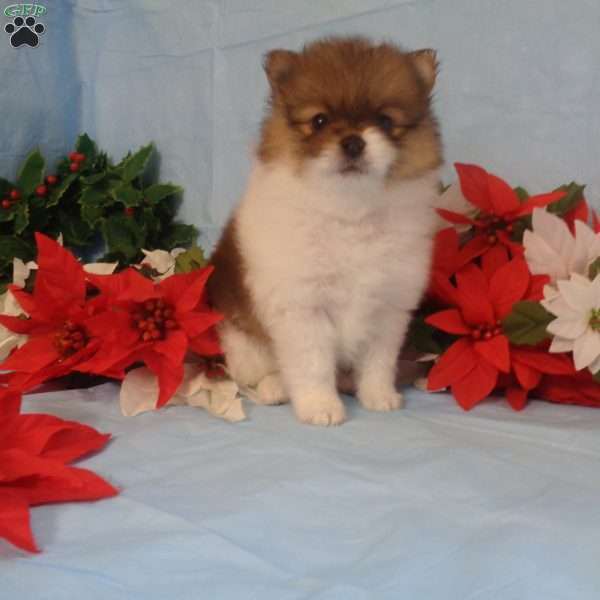 Pretty, Pomeranian Puppy