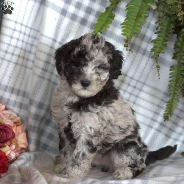 Rascal, Toy Poodle Puppy
