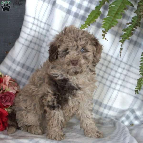 Rex, Toy Poodle Puppy