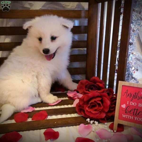 Ricky, Samoyed Puppy