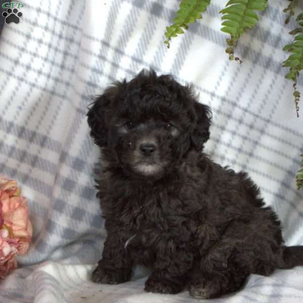 Ronnie, Toy Poodle Puppy