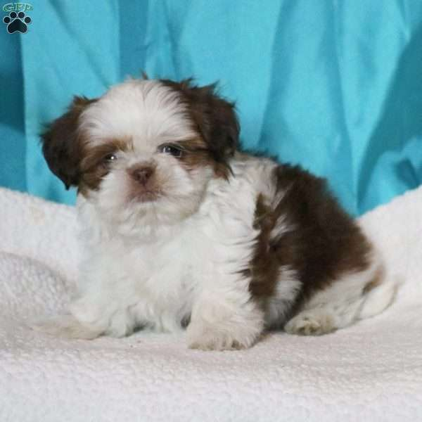 Shelly, Shih Tzu Puppy