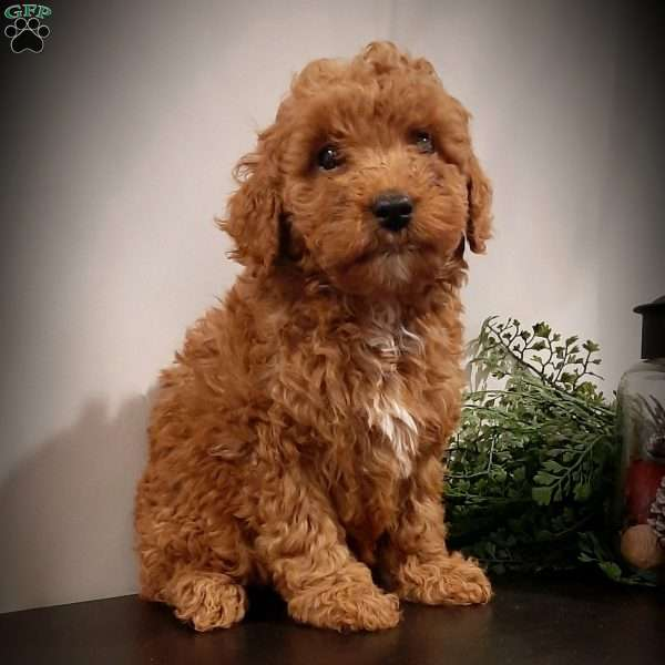 Shiner, Miniature Poodle Puppy