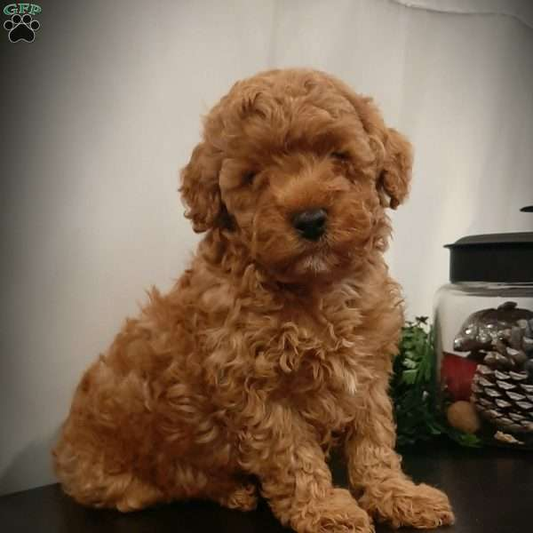 Star, Miniature Poodle Puppy