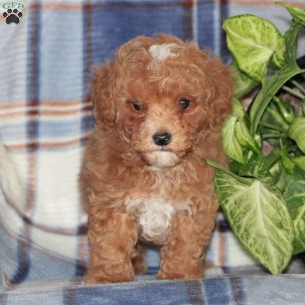 Tigger, Toy Poodle Puppy