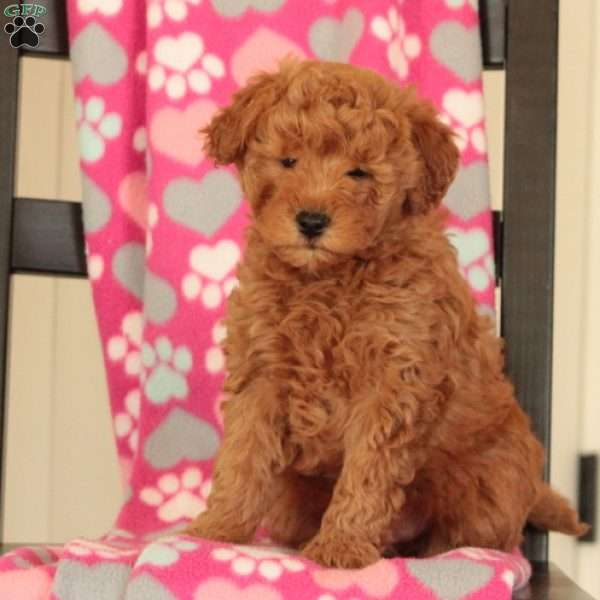 Vick – F1b, Mini Goldendoodle Puppy
