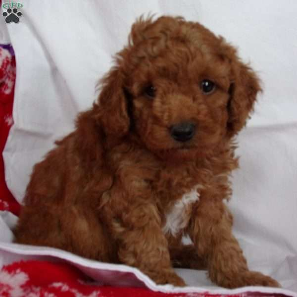 Wiggles, Miniature Poodle Puppy