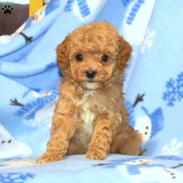 Willow, Miniature Poodle Puppy