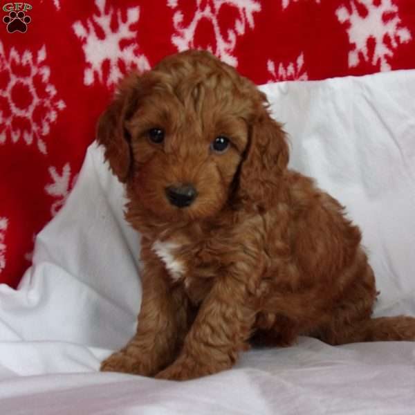 Willy, Miniature Poodle Puppy