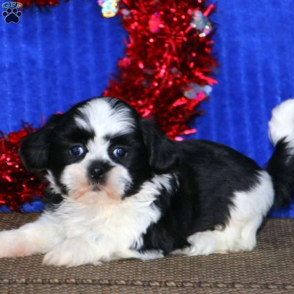 Zach, Shih Tzu Puppy