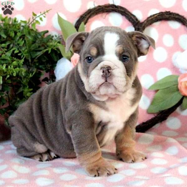 Zane, English Bulldog Puppy