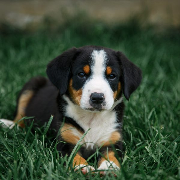 entlebucher mountain dog puppy lying in the grass