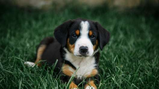 4 Things to Know About Entlebucher Mountain Dog Puppies